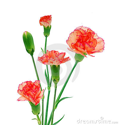 Free Three Red Carnations Royalty Free Stock Photography - 18013757