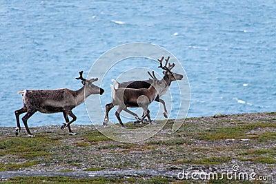 Three reindeer in the wild