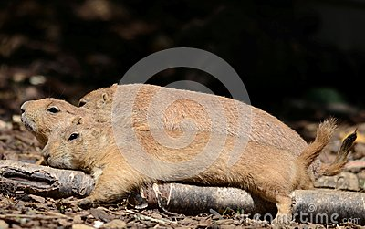 Three resting prairie dogs