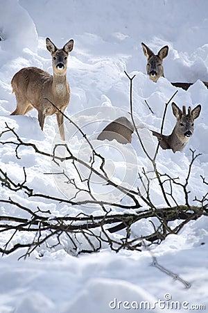 Three Roe Deers (Capreolus capreolus) in the snow