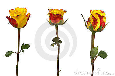 Three Roses isolated