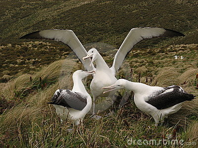 Three Royal Albatross