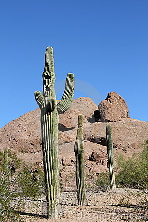 Free Three Saguaro Cacti/Concept: COME ALONG! Stock Image - 22825271
