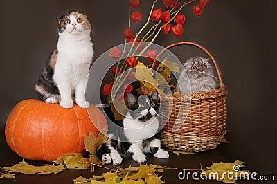 Three Scottish cat with pumpkin .