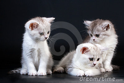 Three Scottish Straight breed kittens