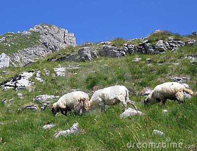 Three sheep at the mountain