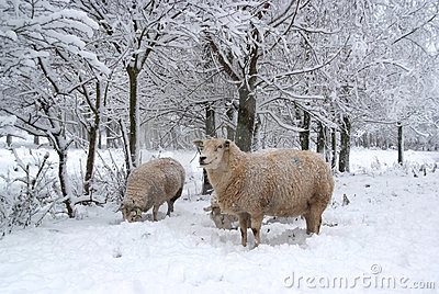 Three sheep in the snow