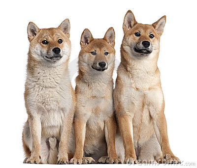 Three Shiba Inu puppies, 6 months old
