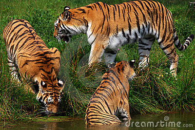 Three Siberian tigers