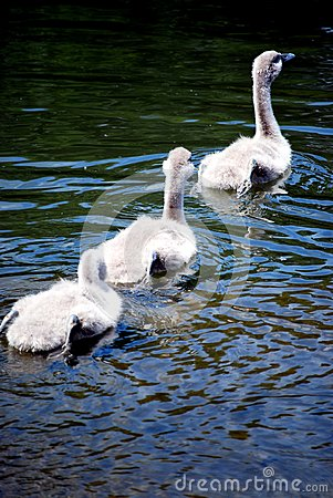 Three signets swimming