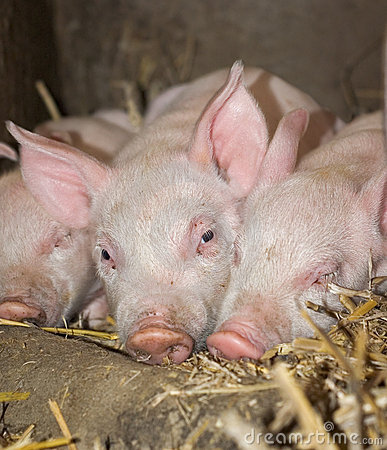 Free Three Sleepy Piglets Royalty Free Stock Photo - 6610865