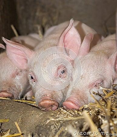 Three Sleepy Piglets