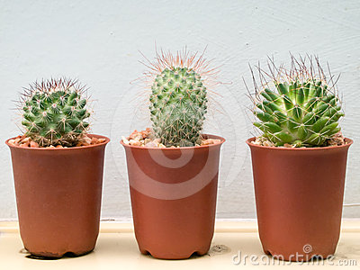 Three small cactus plant