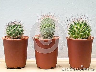 Three small cactus plant