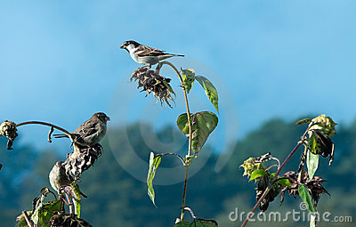 Three sparrows feasting on sunflower seeds