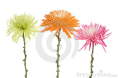 Three Spider Mums Chrysanthemum