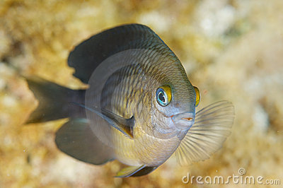 Three Spot Damselfish-Stegastes planifrons