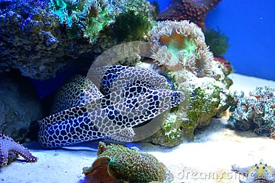 Family of  spotted morays