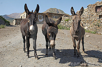 Three standing burros