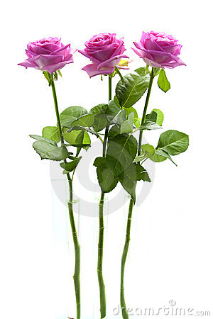 Three standing pink roses