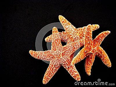 Three Starfish on Black