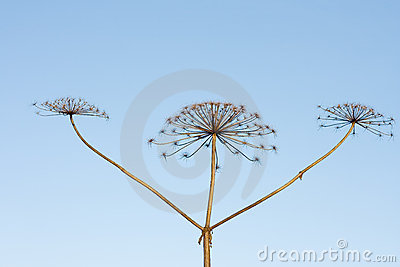 Three sticks of dry hogweed with crowns on backgro