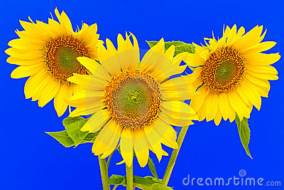 Three sunflower closeup on blue background