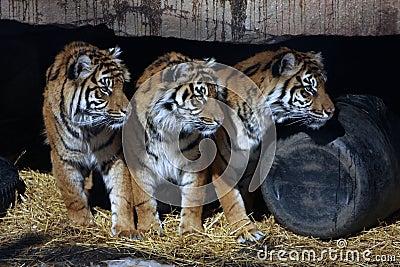 Three Tigers