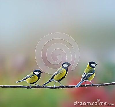 Three titmouses birds
