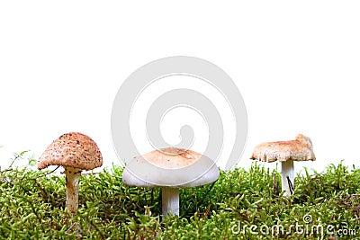 Three toadstools in green moss