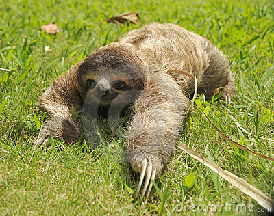 Three toe sloth crawling in grass,costa rica