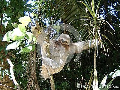 Three toes sloth