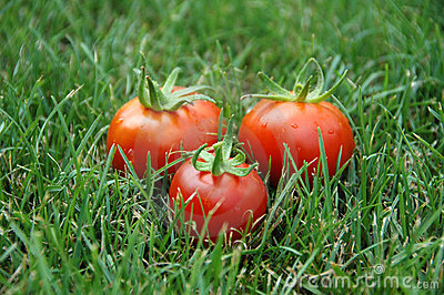 Three tomatoes in grass
