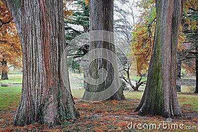 Three Tree Trunks