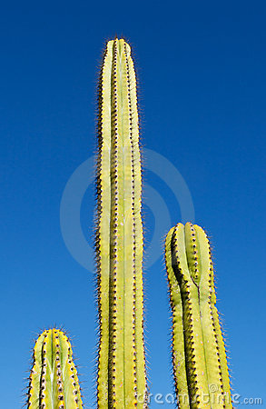 Three tube like cactus plants with blue sky