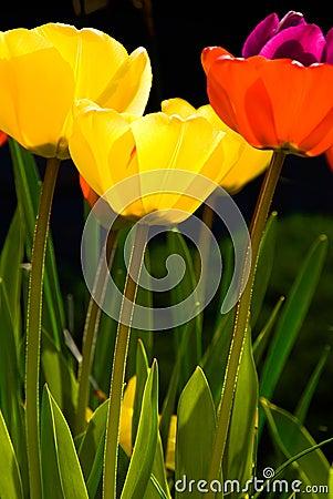 Free Three Tulips Stock Photo - 2373570