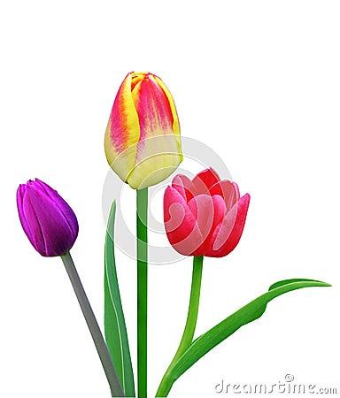 Free Three Tulips Royalty Free Stock Photography - 4911397