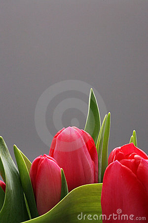 Free Three Tulips With Copy Space Royalty Free Stock Photos - 2146068