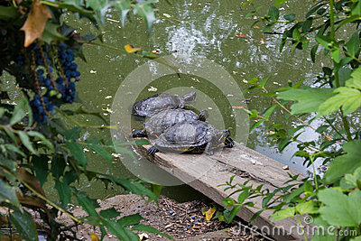 Three turtles in a pond Stock Photo