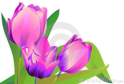 Three violet flowers tulips