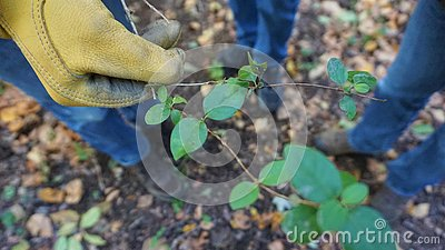 Gloved gardeners hand holds a cut honeysuckle vine Stock Photo