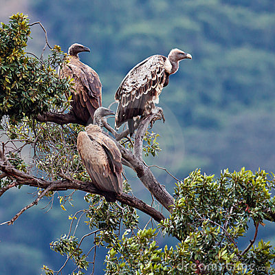 Three vulture sitting on top of an acacia tree