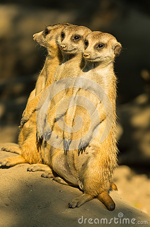 Free Three Watchful Meerkats Standing Guard At Morning Royalty Free Stock Photos - 69250878
