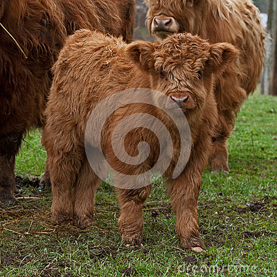 Free Three Week Calf Of Highland Cattle Royalty Free Stock Photography - 39761607