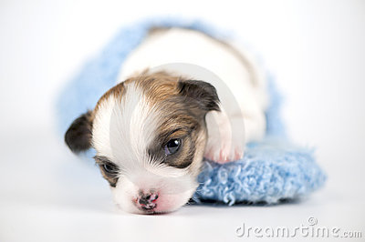 Three weeks old Chihuahua puppy in blue slipper