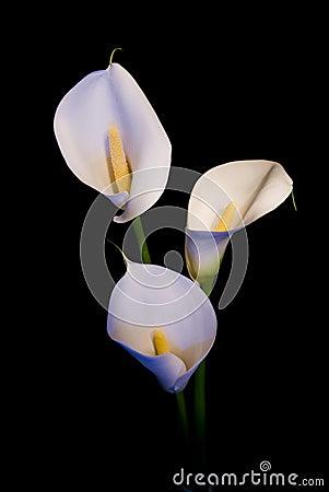 Three white Calla lily