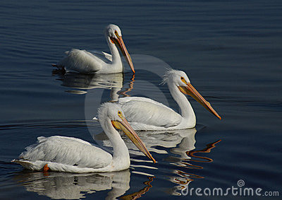 Three White Pelicans