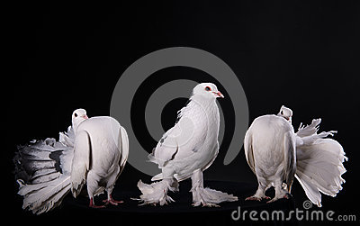Three white pigeons