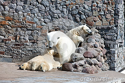 Three white polar bears
