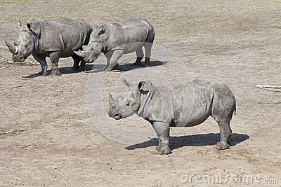 Three white rhinoceros or square-lipped rhinoceros